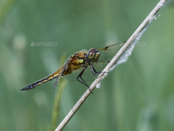 Four-spotted chaser (Libellula quadrimaculata) - Stock Photo - Images