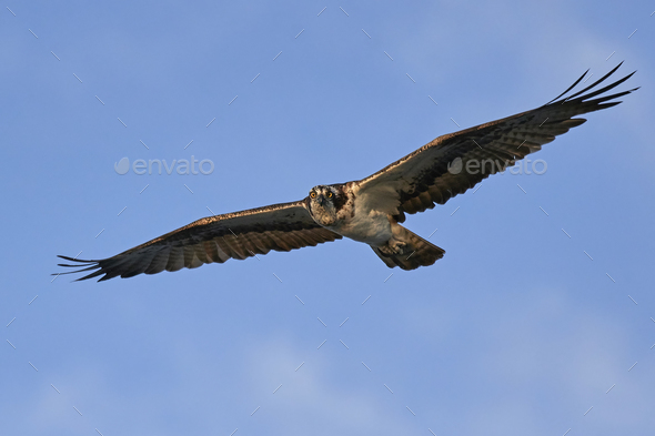 Osprey (Pandion haliaetus) - Stock Photo - Images
