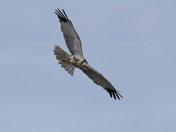 Western marsh harrier (Circus aeruginosus) - Stock Photo - Images