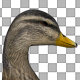 Duck Swimming - VideoHive Item for Sale
