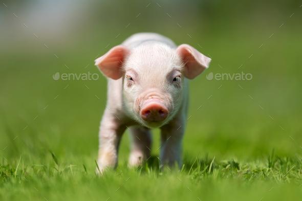 Newborn piglet on spring green grass - Stock Photo - Images