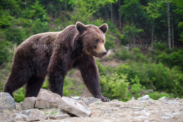 European brown bear in a forest landscape - Stock Photo - Images