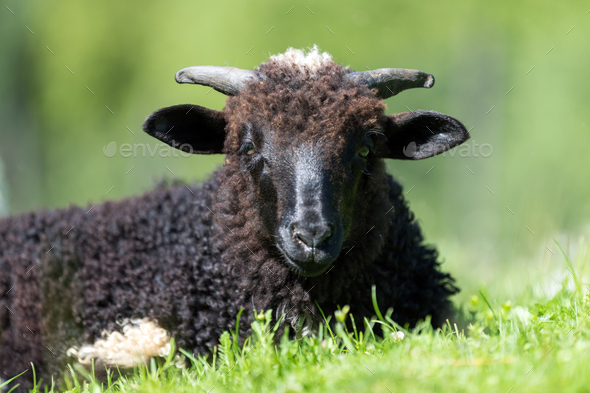 Sheep in a meadow - Stock Photo - Images