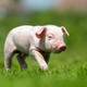 Newborn piglet on spring green grass - PhotoDune Item for Sale