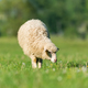Sheep in a meadow in the mountains - PhotoDune Item for Sale