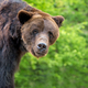 Brown bear (Ursus arctos) portrait in forest - PhotoDune Item for Sale