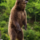 Big brown bear standing on his hind legs - PhotoDune Item for Sale