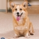 Corgi in the Living Room Sits Next To the Toys and Smiles - VideoHive Item for Sale