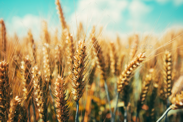 Beautiful golden wheat ears ripening in field - Stock Photo - Images