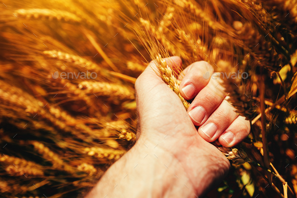 Farmer sqeezing wheat ear in hands - Stock Photo - Images