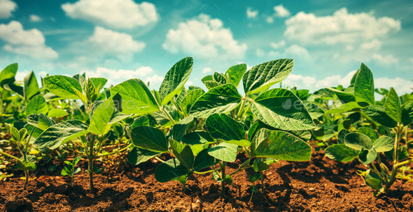 Small soybean plants growing in cultivated field - Stock Photo - Images