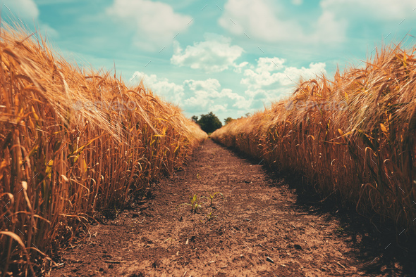 Narrow path through golden barley field - Stock Photo - Images