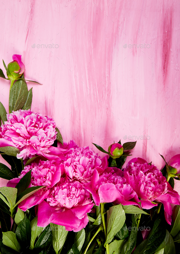 Beautiful pink peony flowers - Stock Photo - Images