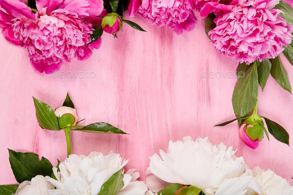 Beautiful pink peony flowers - Stock Photo - Images