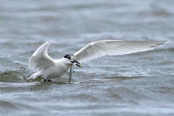 Sandwich tern (Thalasseus sandvicensis) - Stock Photo - Images