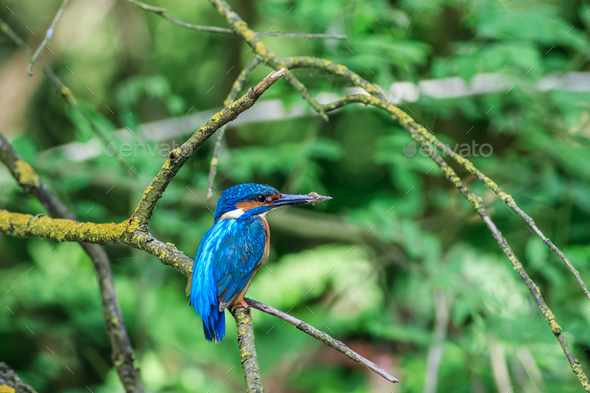 kingfisher (alcedo atthis) in natural habitat - Stock Photo - Images