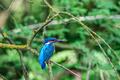 kingfisher (alcedo atthis) in natural habitat - PhotoDune Item for Sale