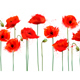 Abstract Background With Red Poppies Flowers