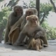 Monkeys in the City of Kathmandu - VideoHive Item for Sale