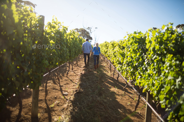 Rear view of couple walking amidst plants at vineyard - Stock Photo - Images