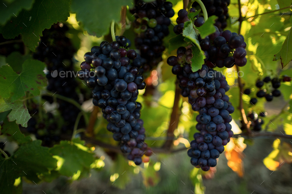 Close up of grapes hanging on plants - Stock Photo - Images
