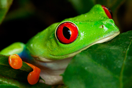 Scarlett the Red Eyed Tree Frog