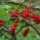 Ribes Rubrum Berries Redcurrant - VideoHive Item for Sale