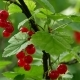 Red Ribes Rubrum Berries Redcurrant - VideoHive Item for Sale