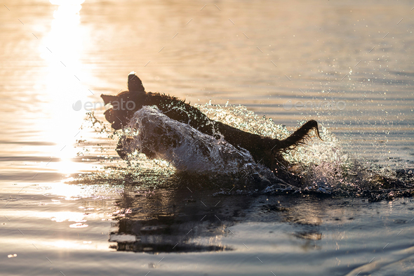 Happy dog swimming and jumping into the water - Stock Photo - Images