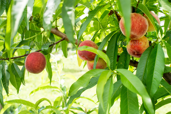 Natural peaches on tree - Stock Photo - Images