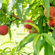 Natural peaches on tree - PhotoDune Item for Sale