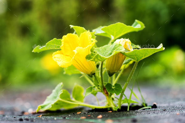 Growing pumpkin flower - Stock Photo - Images