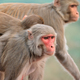 Rhesus macaque monkeys - PhotoDune Item for Sale
