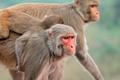 Rhesus macaque monkeys - PhotoDune Item for Sale