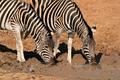 Plains zebras drinking water - PhotoDune Item for Sale