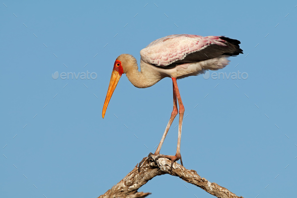 Yellow-billed stork on a branch - Stock Photo - Images