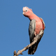Galah Cockatoo, Australia - PhotoDune Item for Sale