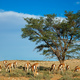 Springbok antelope landscape - PhotoDune Item for Sale