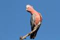 Galah Cockatoo, Australia - PhotoDune Item for Sale
