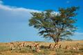 Springbok antelope landscape - PhotoDune Item for Sale