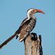 Red-billed hornbill - PhotoDune Item for Sale