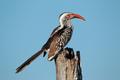 Red-billed hornbill - PhotoDune Item for Sale