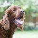 Panting dog in summer - PhotoDune Item for Sale