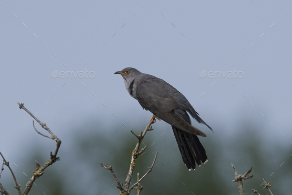 Common cuckoo (Cuculus canorus) - Stock Photo - Images