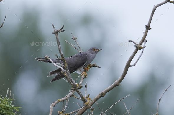 Common cuckoo (Cuculus canorus) - Stock Photo - Images