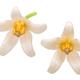 Tamarillo s. betaceum flowers - PhotoDune Item for Sale
