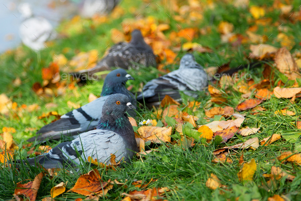 Pigeons in the wild  - Stock Photo - Images