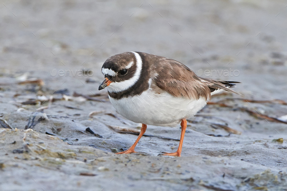 Common ringed plover (Charadrius hiaticula) - Stock Photo - Images