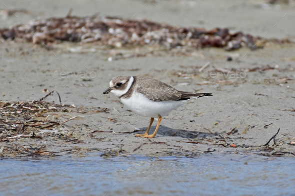 Common ringed plover - Stock Photo - Images