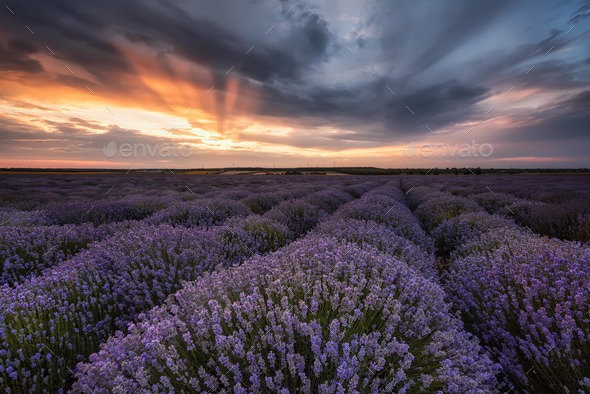 Lavender field - Stock Photo - Images